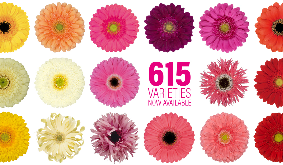 Gerbera Novelties: new assortment available