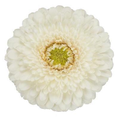 Pomponi White Pearl <sup>®</sup>